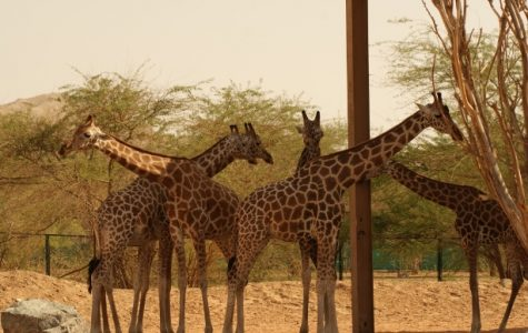 Giraffes silently make there way onto the endangered watchlist