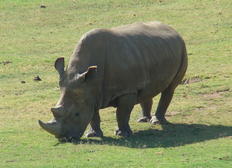 Rhinos move closer to extinction