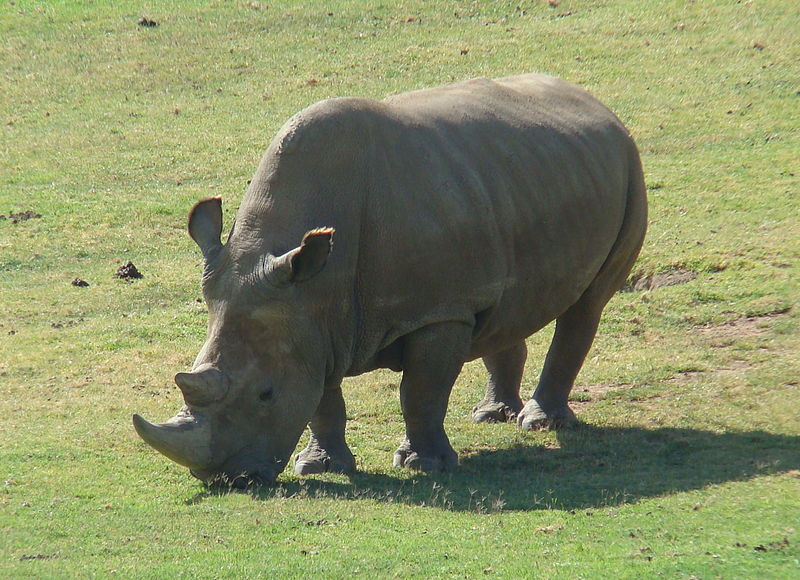 Angalifu%2C+one+of+the+last+Northern+Male+Rhinos%2C+he+died+in+2014+of+old+age.