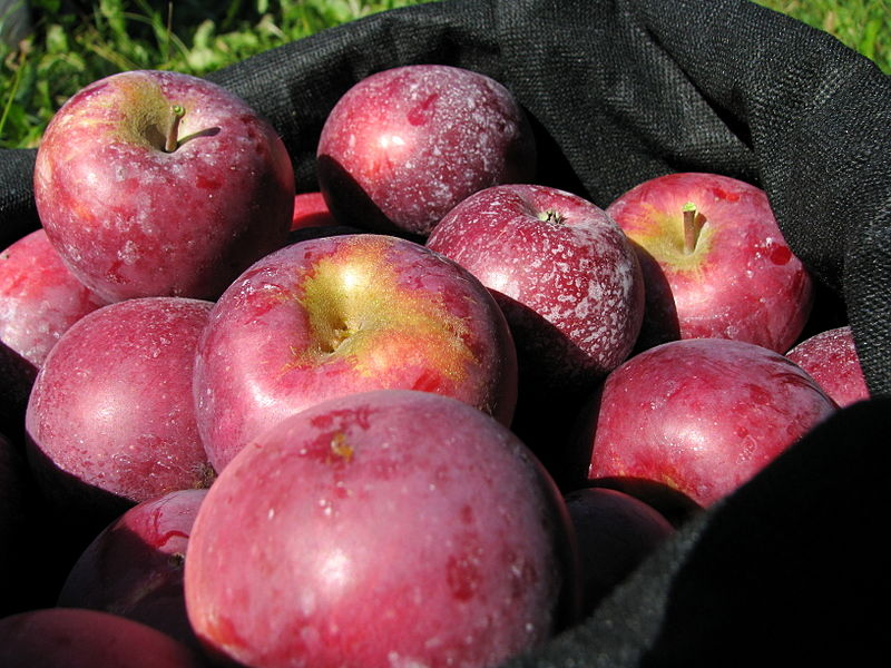 Apple picking is just one of the many activities that will get you in the fall spirit.